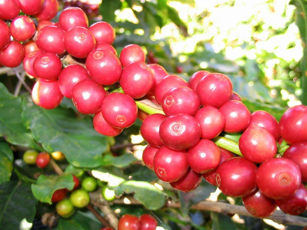 Cà phê chồn – món quà huyền thoại Việt