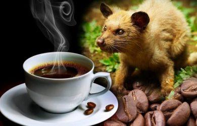 Cà phê chồn Tây Nguyên – thức uống đậm hương vị Việt.