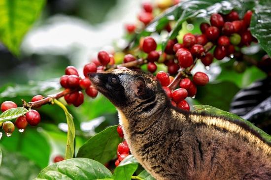 Cà phê chồn – thức uống thơm ngon đắt đỏ.
