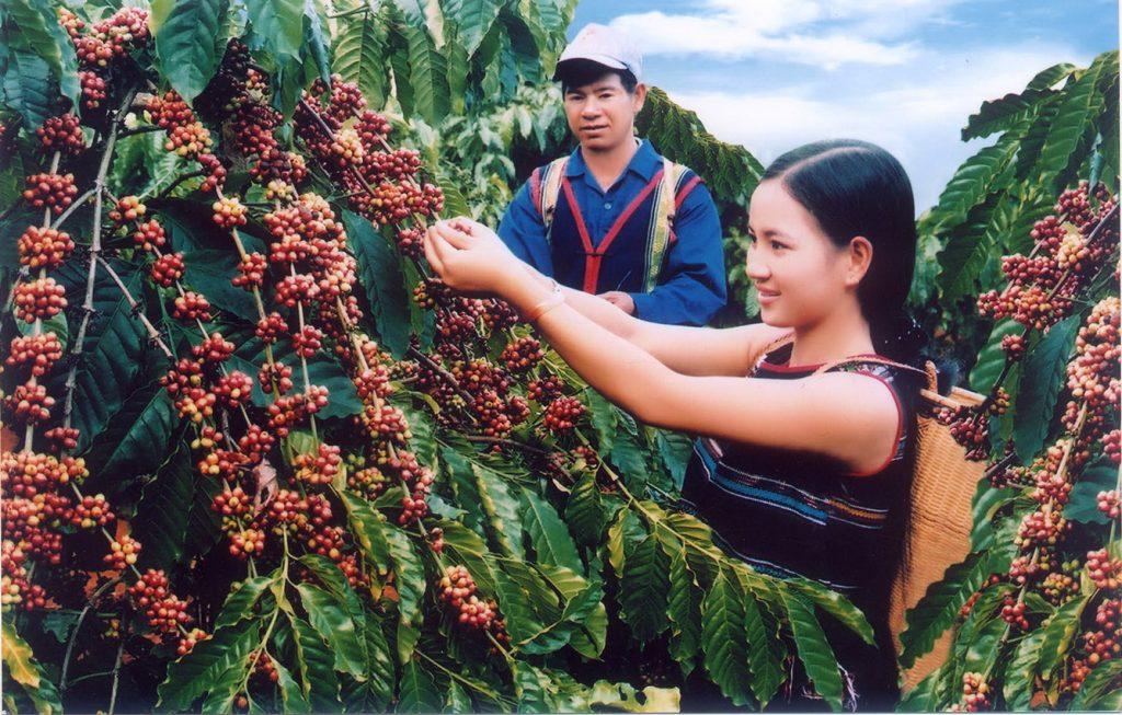 Cà phê nguyên chất Buôn Ma Thuột hương vị khó quên.